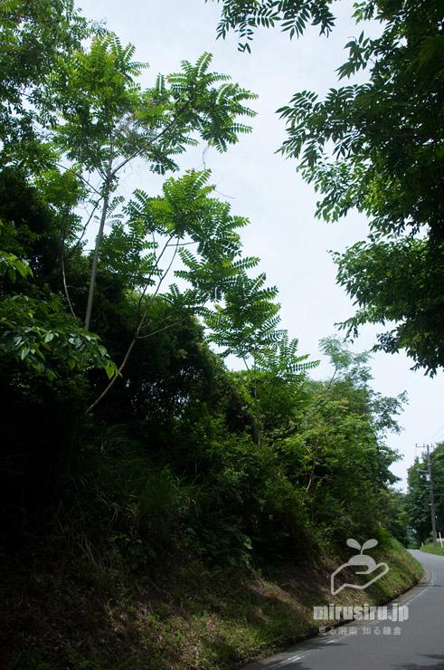樹木多い沿道に生えたニワウルシ(シンジュ、左側、右側はハゼノキ) 大井町山田 2021/05/29