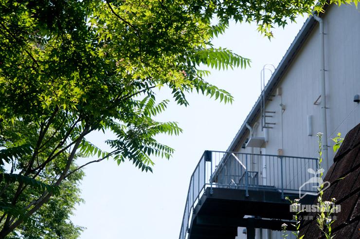 林縁に生えたニワウルシ(シンジュ) 横浜市栄区・長倉町小川アメニティ 2021/05/30