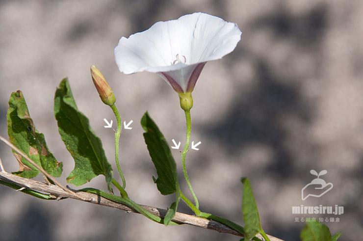 セイヨウヒルガオの苞(白色矢印) 鎌倉市・JR東海道本線沿い 2021/05/31