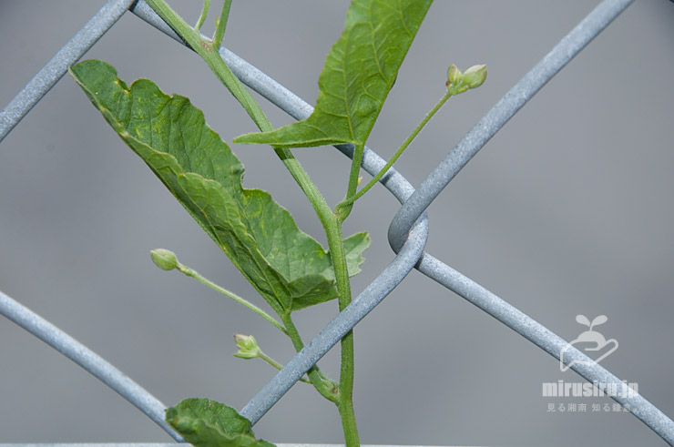 セイヨウヒルガオの茎と葉と蕾 鎌倉市・JR東海道本線沿い 2021/05/31