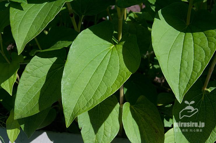 ハンゲショウの花時でも白くならない茎下部の葉 鎌倉市・大船フラワーセンター 2021/06/10