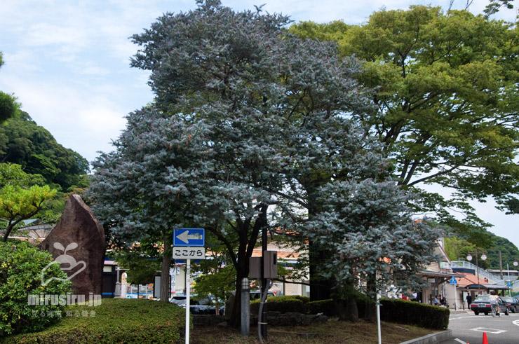 夏のギンヨウアカシア JR東海道本線「大磯」駅 2021/06/18