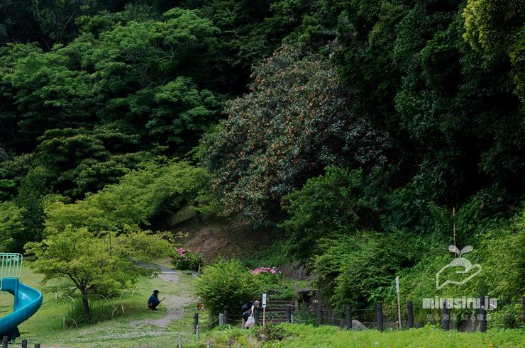 ビワの大樹 二宮町・ラディアン花の丘公園 2021/06/18