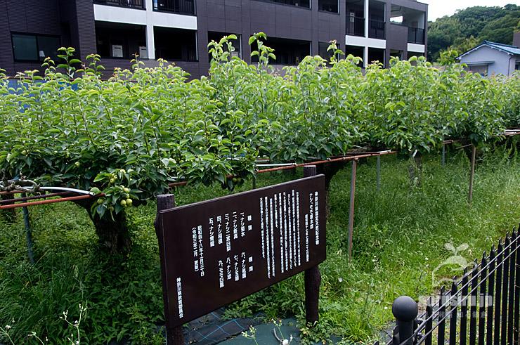 県指定天然記念物「ナシ、モモ原木群」のナシ 二宮町・二宮果樹公園 2021/06/18