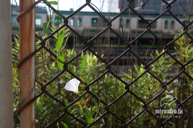 セイヨウヒルガオ 鎌倉市・JR東海道本線沿い 2021/07/10