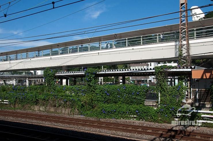 沿線のフェンスを覆ったノアサガオ 鎌倉市・JR東海道本線「大船」駅西口 2021/07/10