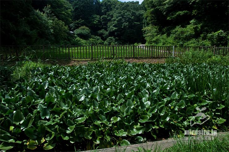 密生したコウホネ 横浜市緑区・四季の森公園 2021/07/10
