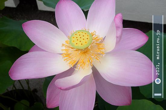 ハス('大賀蓮') 鎌倉市・大船フラワーセンター 2021/07/17