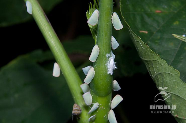 アオバハゴロモ(ハト)、白は幼虫、左下の茶色はベッコウハゴロモ 三浦市・城ケ島 2017/08/07