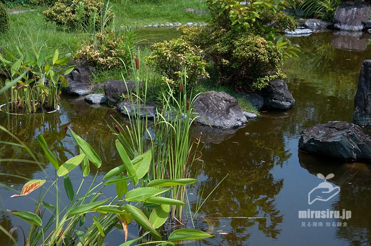 コガマの(池の中で)鉢栽培 鎌倉市・大船フラワーセンター 2019/08/01