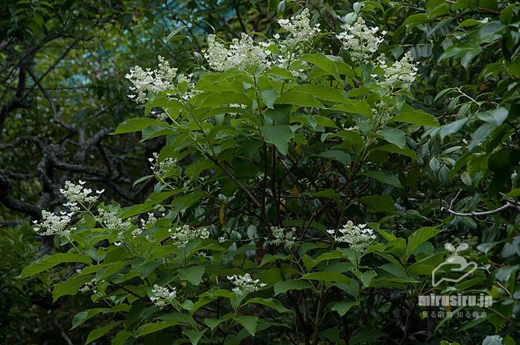 ノリウツギ、装飾花の萼だけは開いているので開花中に見える蕾の状態 鎌倉市・光則寺 2021/05/24