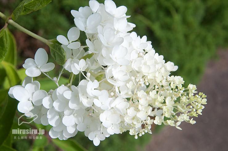ノリウツギ(ピラミッドアジサイ、'ミナヅキ')の装飾花だけの花序 鎌倉市・大船フラワーセンター 2021/07/17