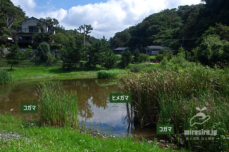 池に植えられたコガマとヒメガマ 鎌倉市・永福寺跡 2021/07/19