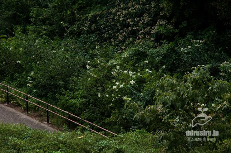 沿道に植栽されたノリウツギ(上半分はクサギ) 横浜市戸塚区・俣野別邸庭園 2021/07/26
