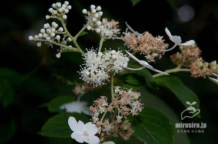 ノリウツギ(茶色は両性花の咲き終わり) 横浜市戸塚区・俣野別邸庭園 2021/07/26