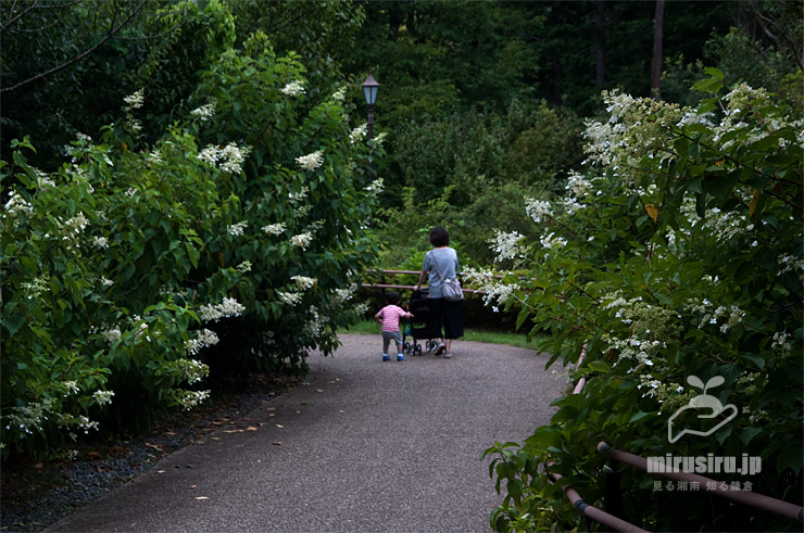 沿道に植栽されたノリウツギ 横浜市戸塚区・俣野別邸庭園 2021/07/26