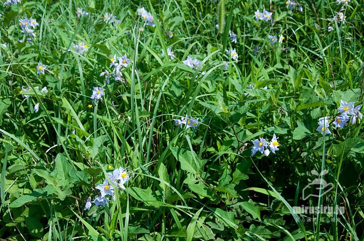 農道端で他の雑草と混生したワルナスビ(白っぽい花すべて) 茅ヶ崎市西久保 2021/07/28