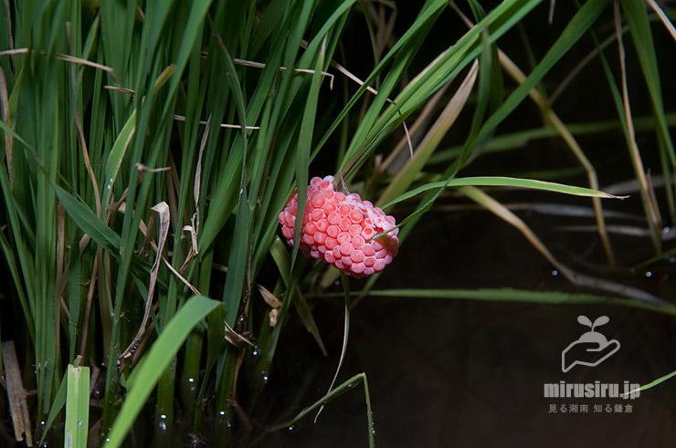 スクミリンゴガイ(ジャンボタニシ)の卵塊 茅ヶ崎市萩園 2018/07/07