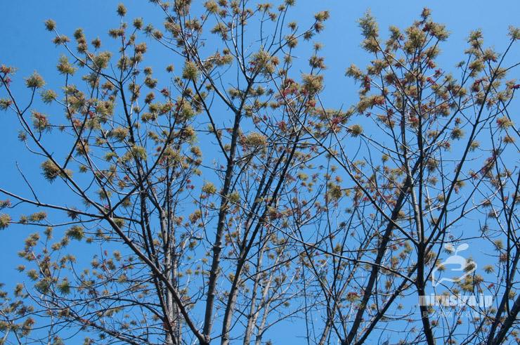 カイノキの開花時期の雄株 茅ヶ崎市・中央公園 2021/04/07
