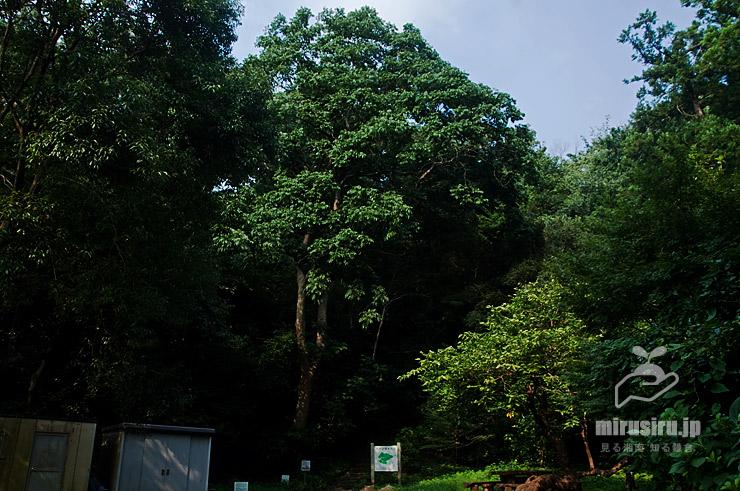 ムクロジの大樹(中央) 藤沢市・新林公園 2021/08/27