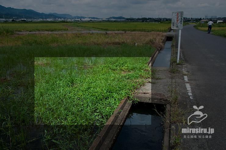 不耕作田に生えたカロライナツユクサ 平塚市北金目 2021/09/07