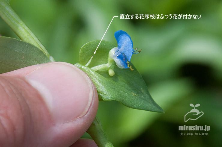 カロライナツユクサの苞の中 平塚市北金目 2021/09/07