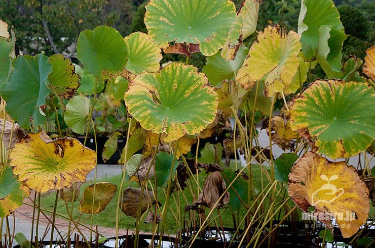 ハスの黄葉しつつ枯れてゆく葉 鎌倉市・大船フラワーセンター 2021/09/11