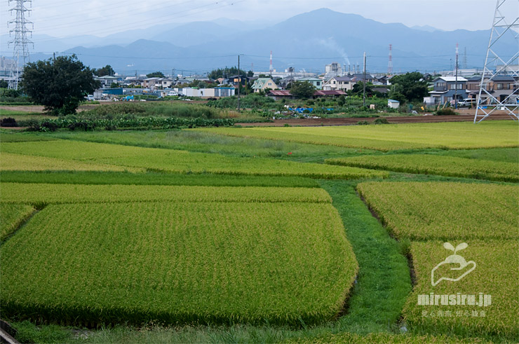 収穫時期が近づいてきた田んぼ、大山を背景に 寒川町田端 2021/09/13