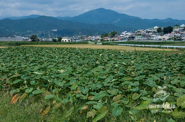 サトイモ畑(背景は大山) 平塚市岡崎 2021/09/24