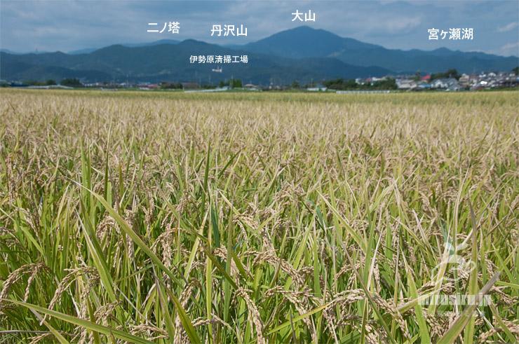収穫時期が近づいてきたイネ 平塚市岡崎 2021/09/24