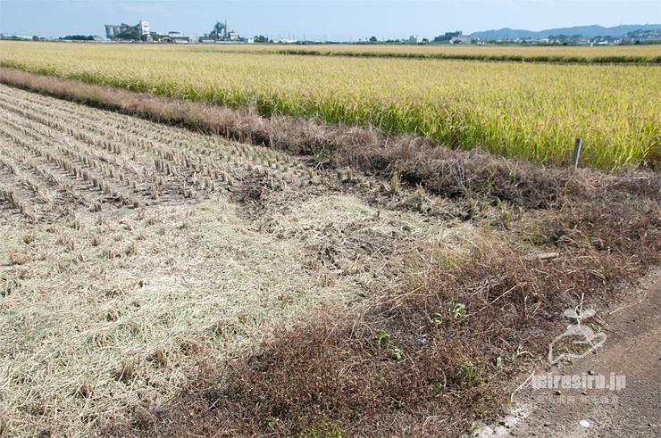 イネ刈りを前に、除草剤が撒かれて水田雑草が茶色く枯死した畦 平塚市真田 2021/09/24