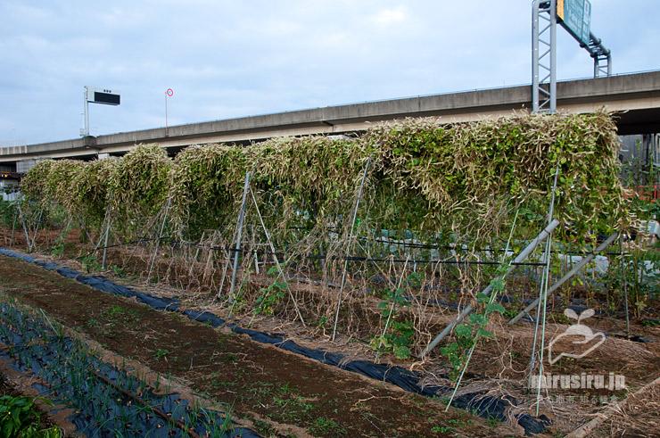 畑で栽培されているアカザカズラ(オカワカメ) 茅ヶ崎市浜之郷 2021/09/29