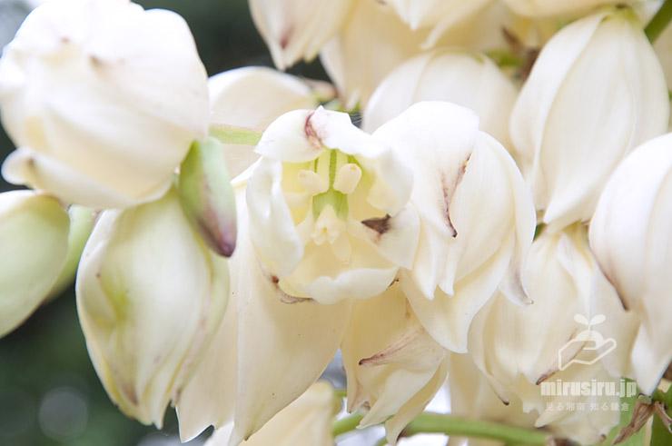 ユッカの花の中身は基本的には見えない 横須賀市・荒崎公園 2016/10/23
