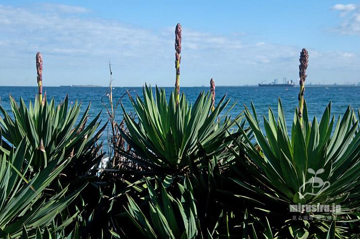 海辺に植栽されたユッカ(花は蕾) 横須賀市・観音崎公園 2020/10/25