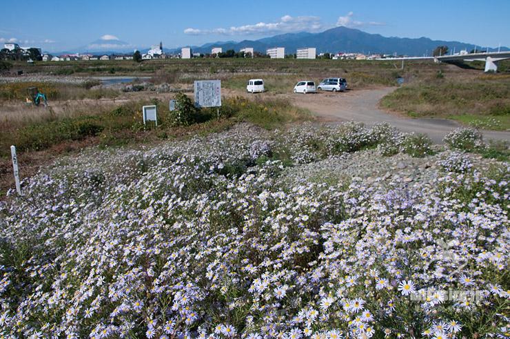 満開のカワラノギク圃場(背景は富士山と大山) 寒川町・相模川・神川橋下流 2020/11/05