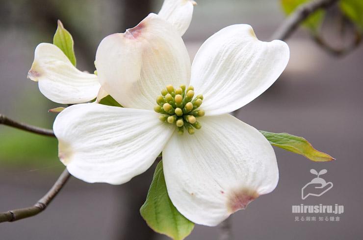 ハナミズキ(本当の花はまだ蕾) 鎌倉市・大船フラワーセンター 2021/04/03
