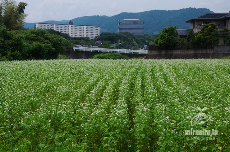 ソバ畑(背景はBIOTOPIA) 大井町山田 2021/05/29
