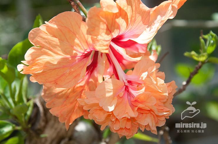 ハイビスカス(コーラル系'オレンジ・フラミンゴ') 鎌倉市・大船フラワーセンター 2021/06/10