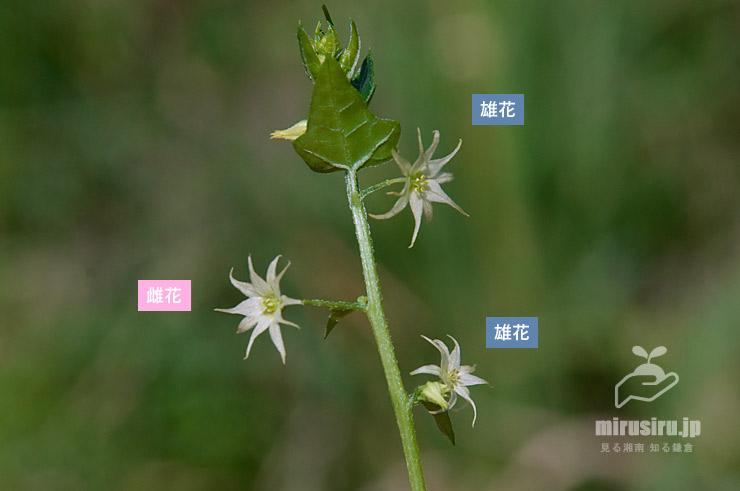ゴキヅルの雄花と雌花 寒川町・相模川 2021/09/10