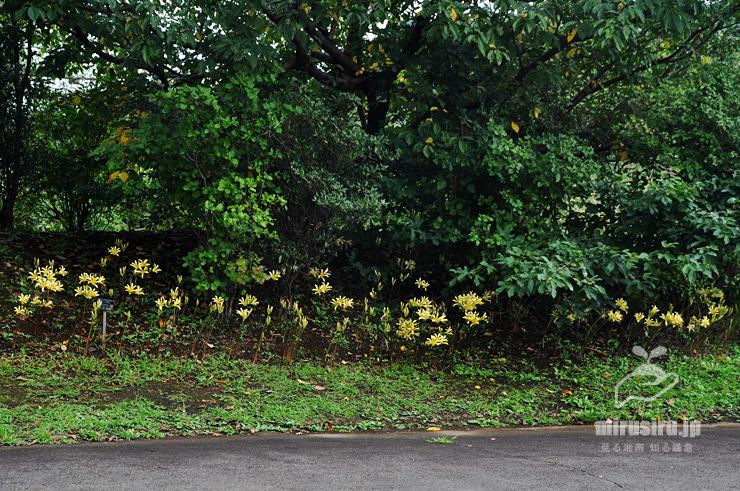 アケボノショウキラン('オオスミ') 鎌倉市・大船フラワーセンター 2021/09/11