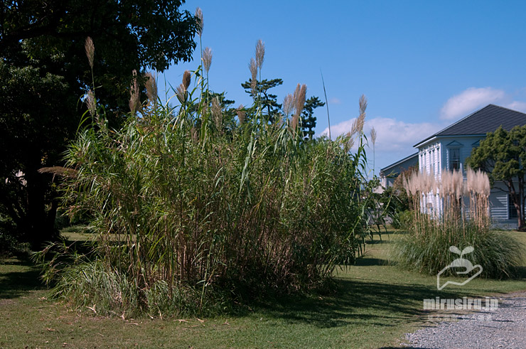 ダンチクの小群落(右側はパンパスグラス) 茅ヶ崎市・太陽の郷庭園 2021/10/11