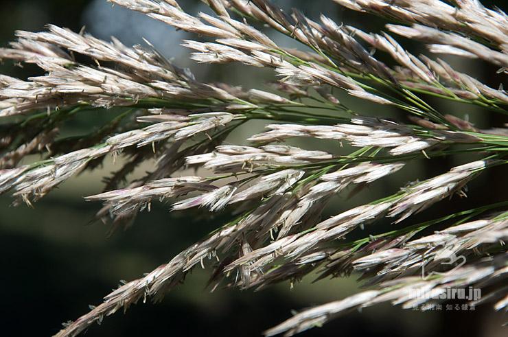 ダンチクの花(雌花と雄花) 茅ヶ崎市・太陽の郷庭園 2021/10/11