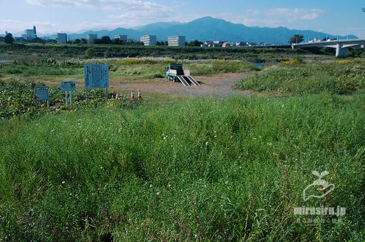 咲き始めのカワラノギク圃場(下半分) 寒川町・相模川・神川橋下流 2021/10/11